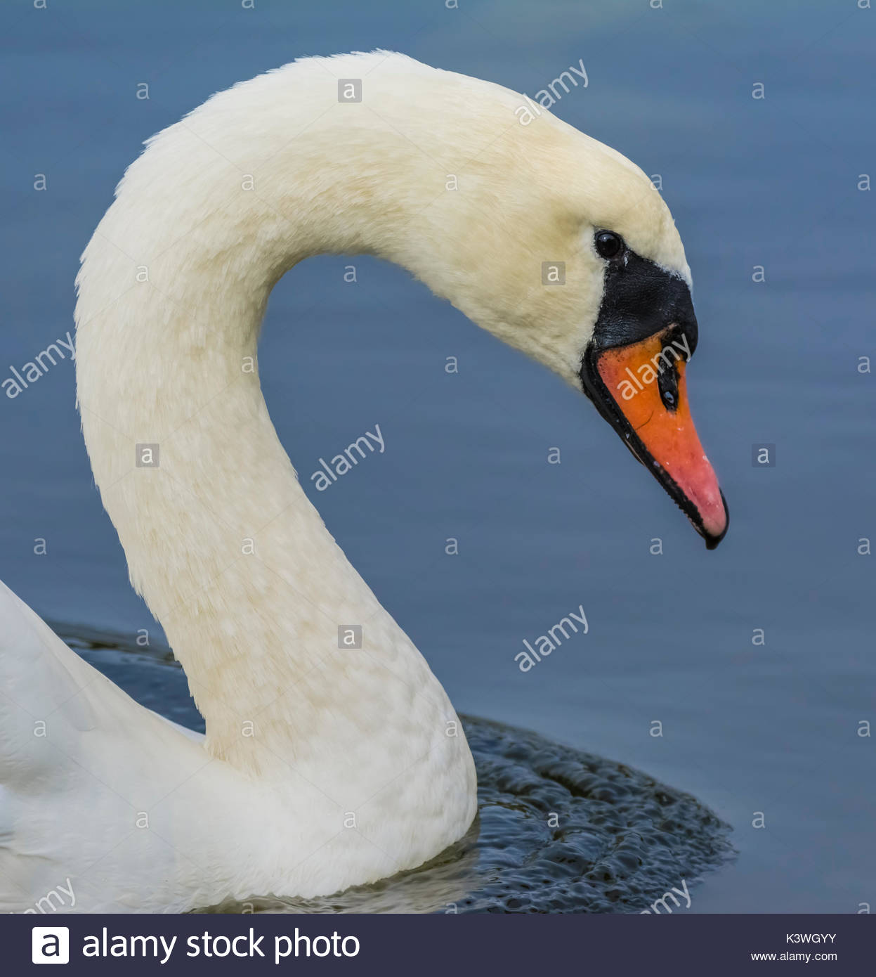 White Mute Swan (Cygnus olor) head and neck from the side view, swimming in calm blue water in the UK, in portrait. - Stock Image
