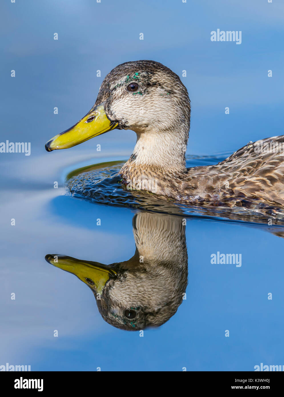 Female Mallard duck (Anas platyrhynchos) head and neck portrait, swimming in water with a perfect reflection, in the UK. - Stock Image