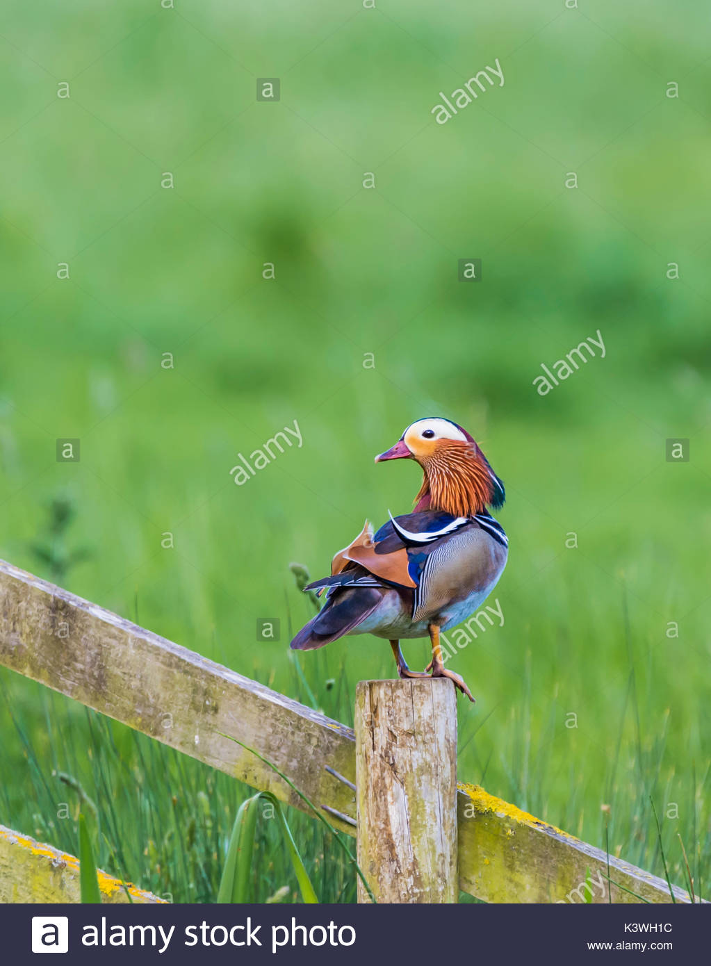 Mandarin Duck drake (Aix galericulata) in mating plumage perched on a fence in Spring in West Sussex, England, UK, - Stock Image