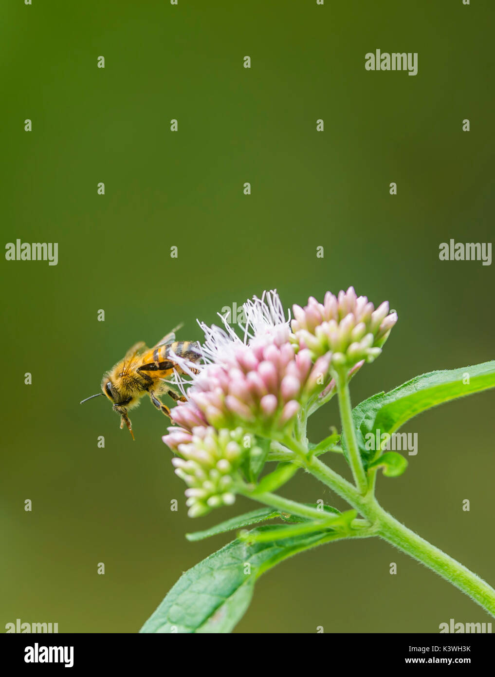 Honey bee flying from a Eupatorium cannabinum plant, also known as Hemp agrimony or Holy rope, in late Summer in Sussex, UK. Portrait with copy space. - Stock Image