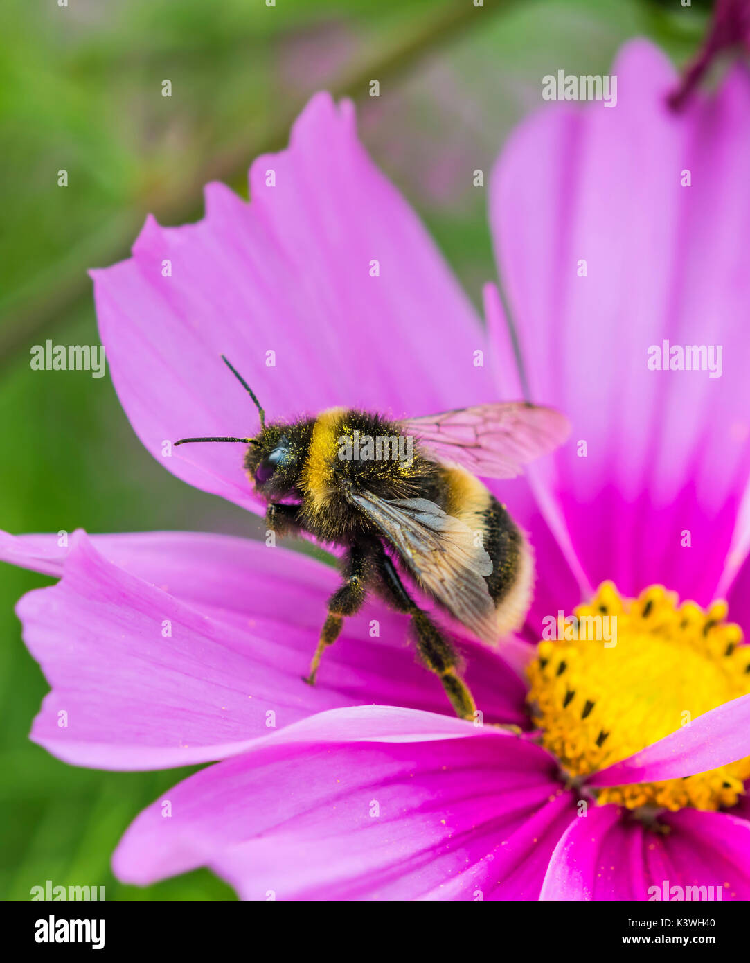 Buff Tailed Bumblebee (Bombus terrestris) on a pink Cosmos bipinnatus flower in Summer in West Sussex, UK. Bumblebee portrait. Copy space. - Stock Image