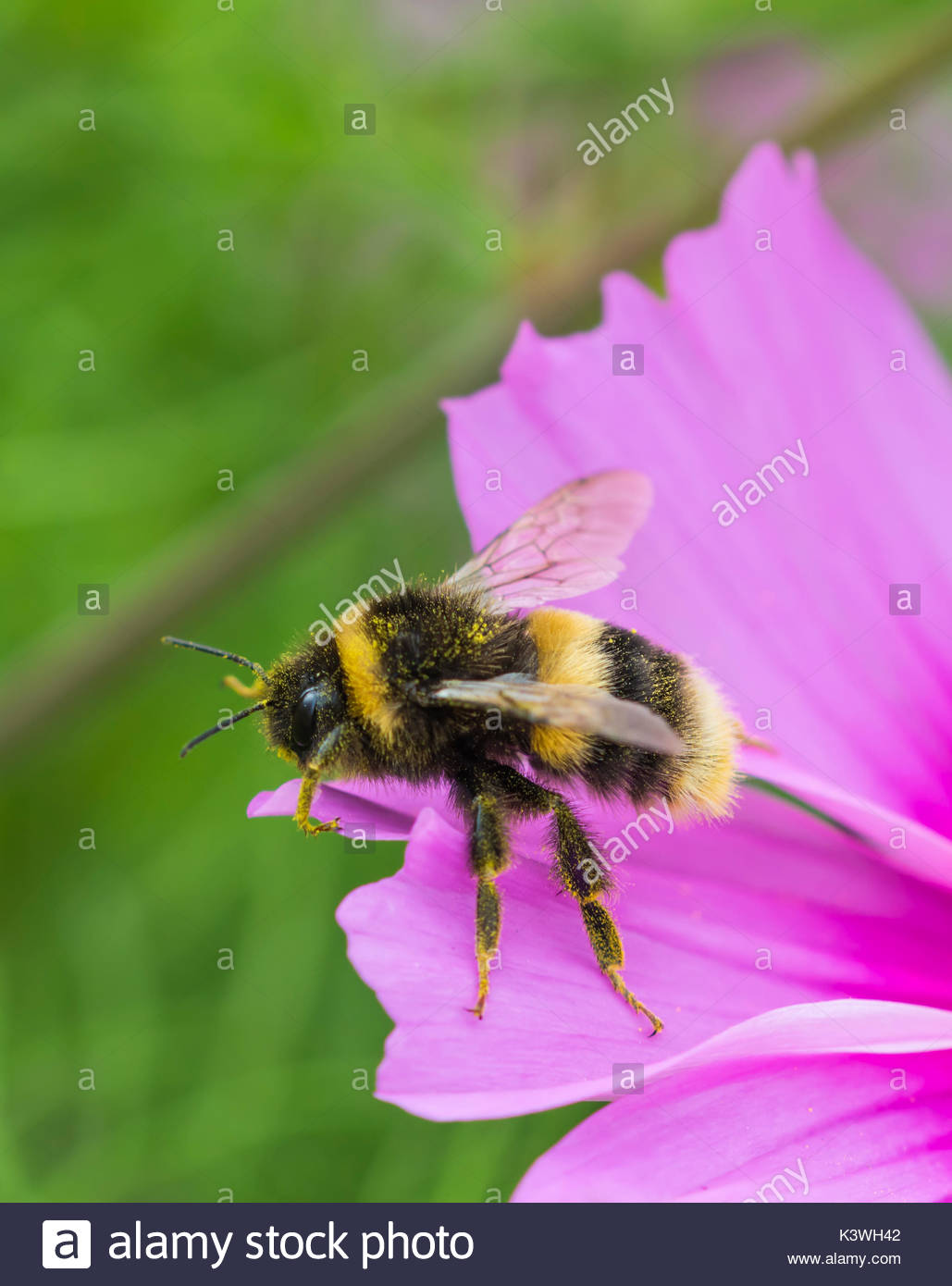 Bumblebee macro portrait with copy space. Bombus terrestris (Buff Tailed Bumblebee) on a Cosmos bipinnatus flower in Summer in West Sussex, UK. - Stock Image