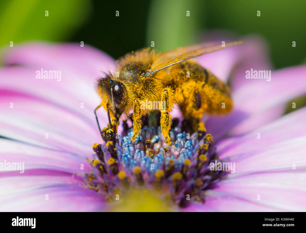 European Honey Bee (Apis mellifera) on a Osteospermum ecklonis (African daisy) pollinating the flower in Sussex, Stock Photo