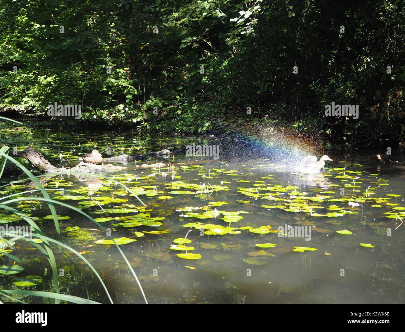 Duck in water splashing rainbow - Stock Image