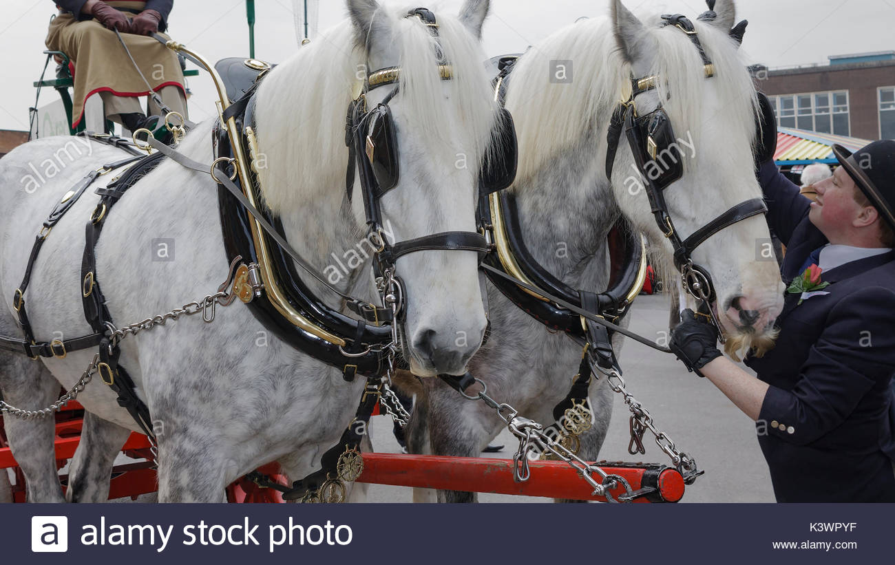23 April 2010 A pair of dappled greys in harness on show at St George celebrations in Ashton undert Lyne Greater Manchester England UK - Stock Image