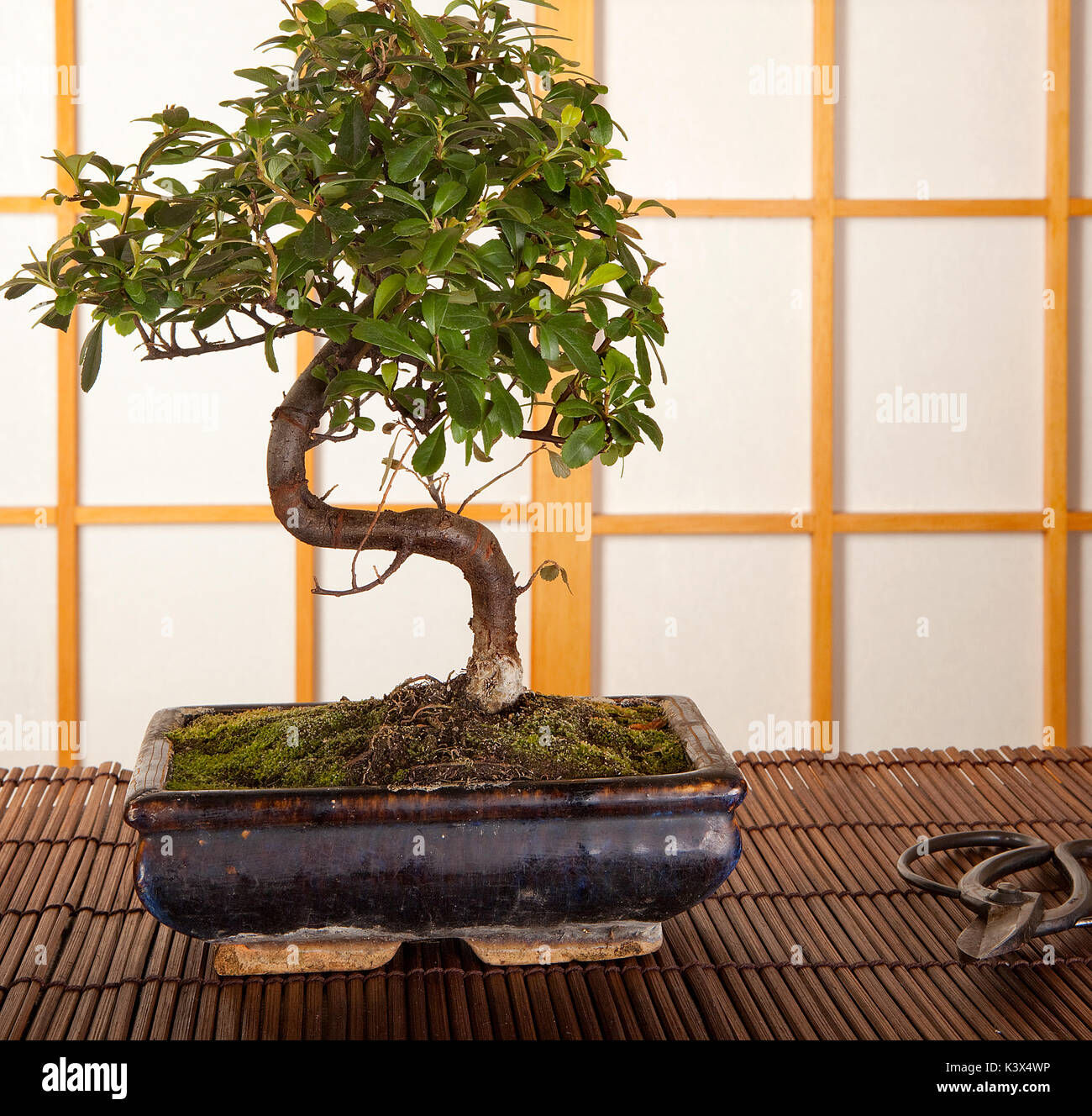 Japanese Interior With Bonsai Tree And Pruning Scissors Stock Photo Alamy