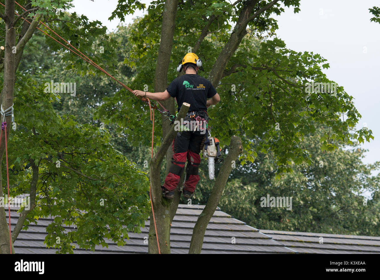 Tree surgeon working in protective gear, using climbing ropes for safety & with chainsaw, is high in branches of garden tree - Yorkshire, England, UK. - Stock Image