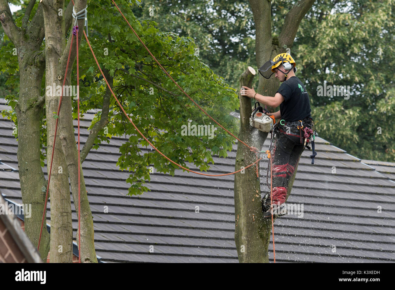 Tree surgeon working in protective gear, using climbing ropes for safety & holding chainsaw, high in branches of garden tree - Yorkshire, England, UK. - Stock Image