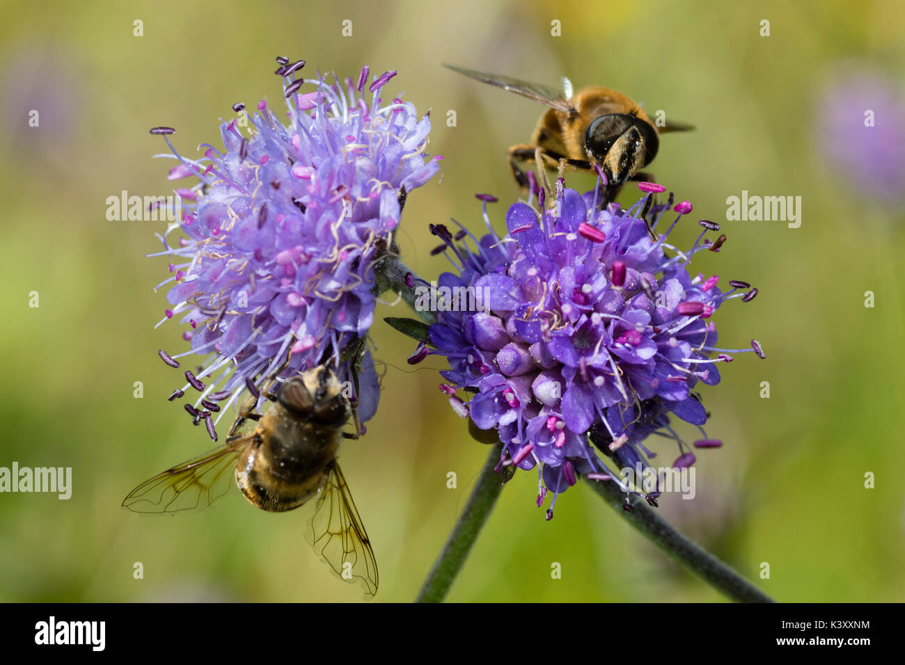 Pincushion blue flower heads of the UK wildflower Devil's bit scabious, Succisa pratensis, with Eristalis pertinax hoverflies feeding - Stock Image