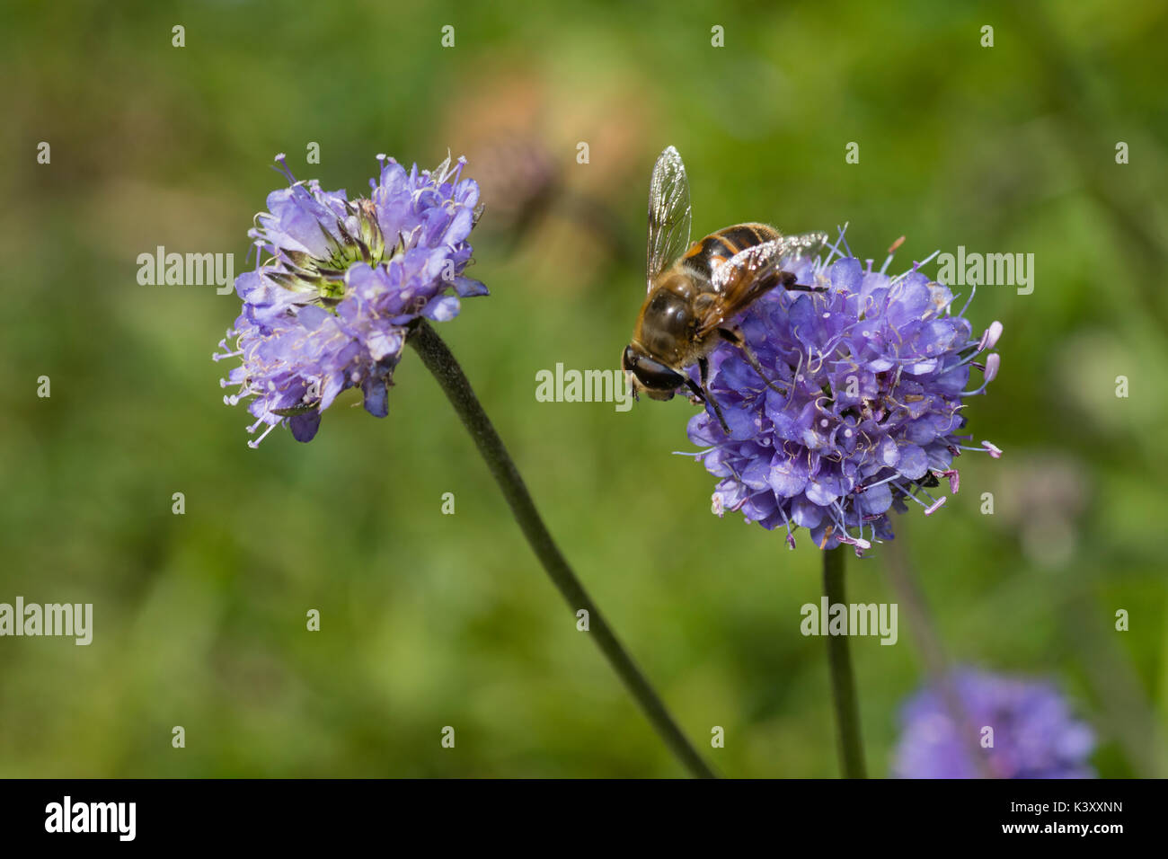 Pincushion blue flower heads of the UK wildflower Devil's bit scabious, Succisa pratensis, with an Eristalis pertinax hoverfly feeding - Stock Image