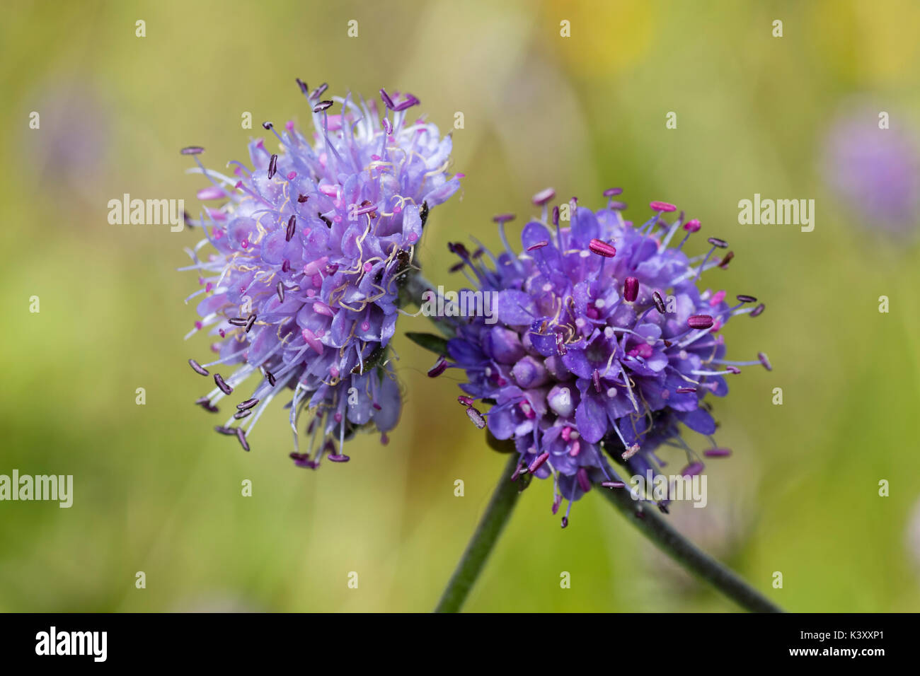 Pincushion blue flower heads of the UK wildflower Devil's bit scabious, Succisa pratensis - Stock Image