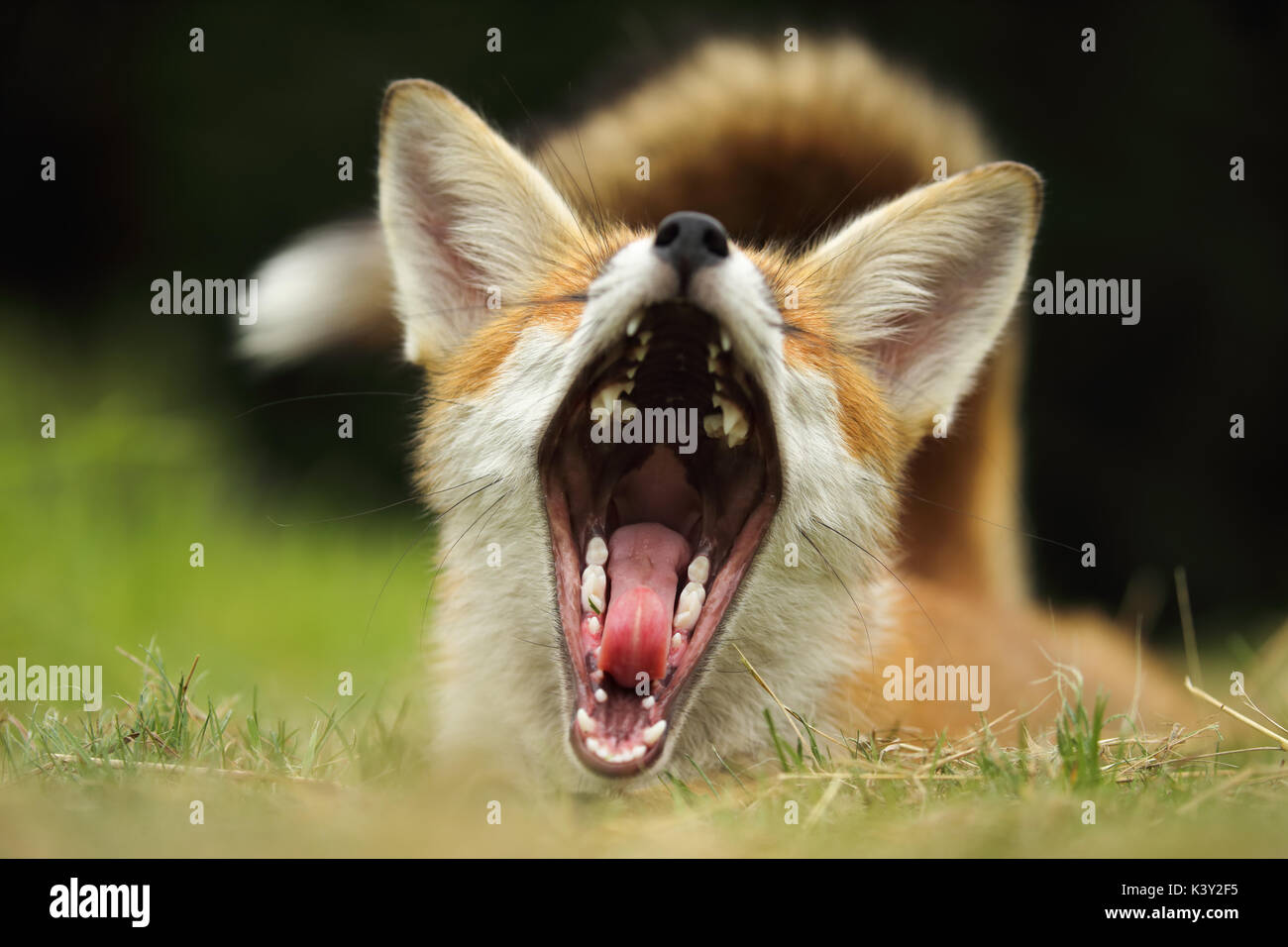 Young fox having a big yawn - Stock Image