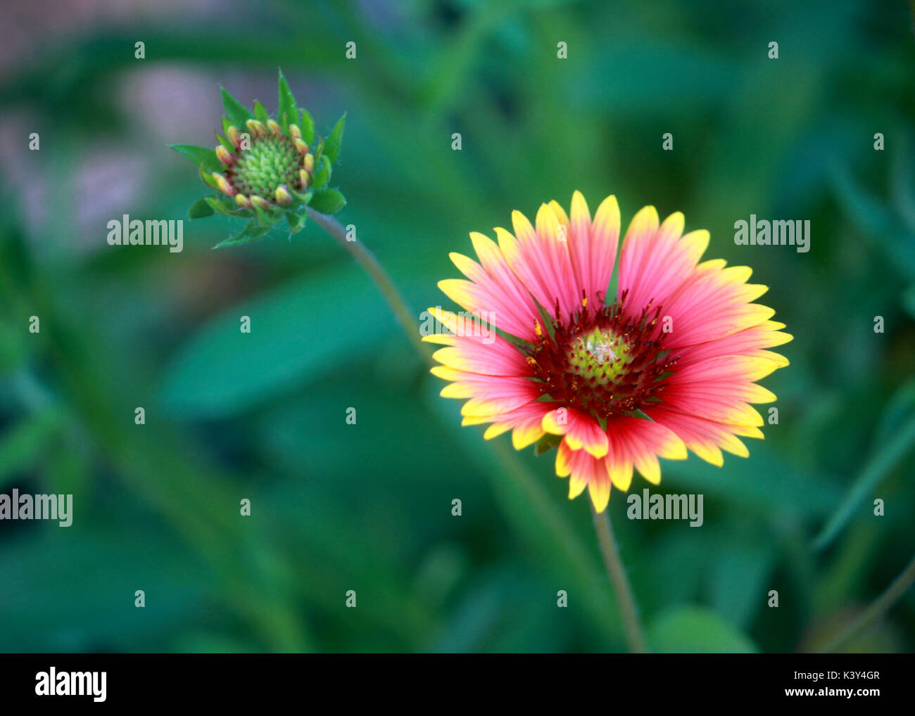 A single Gaillardia or blanket flower bloom shines in the midst of the green leaves. - Stock Image