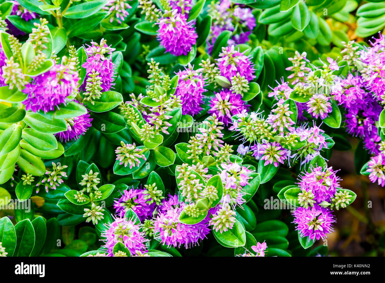 Gardening bush of New Zealand hebe, showy hebe or showy-speedwell (Hebe speciosa). - Stock Image