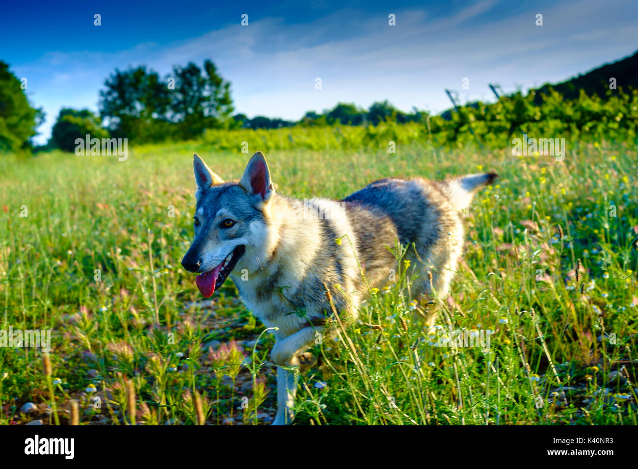 Czechoslovakian wolfdog on the field. Ayegui, Navarre, Spain. - Stock Image