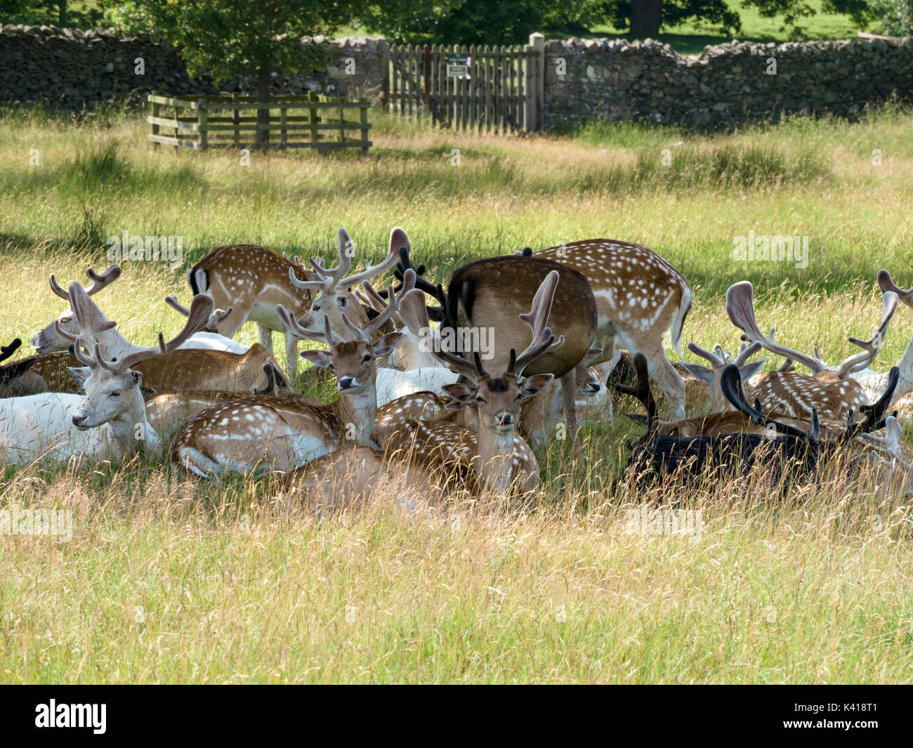 Herd of young Fallow Deer Bucks (Dama Dama) lying down in shade with velvet antlers, Bradgate Park, Leicestershire, England, UK - Stock Image