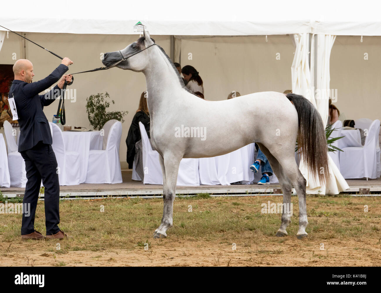 White Arabian Horse With Dark Mane Rejawi Lembarak In The Show Ring Stock Photo Alamy
