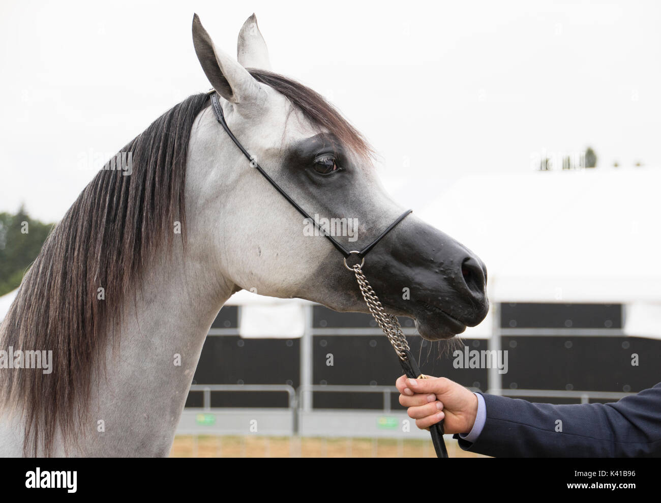 Headshot Of White Arabian Yearling Filley With Black Mane At The Stock Photo Alamy
