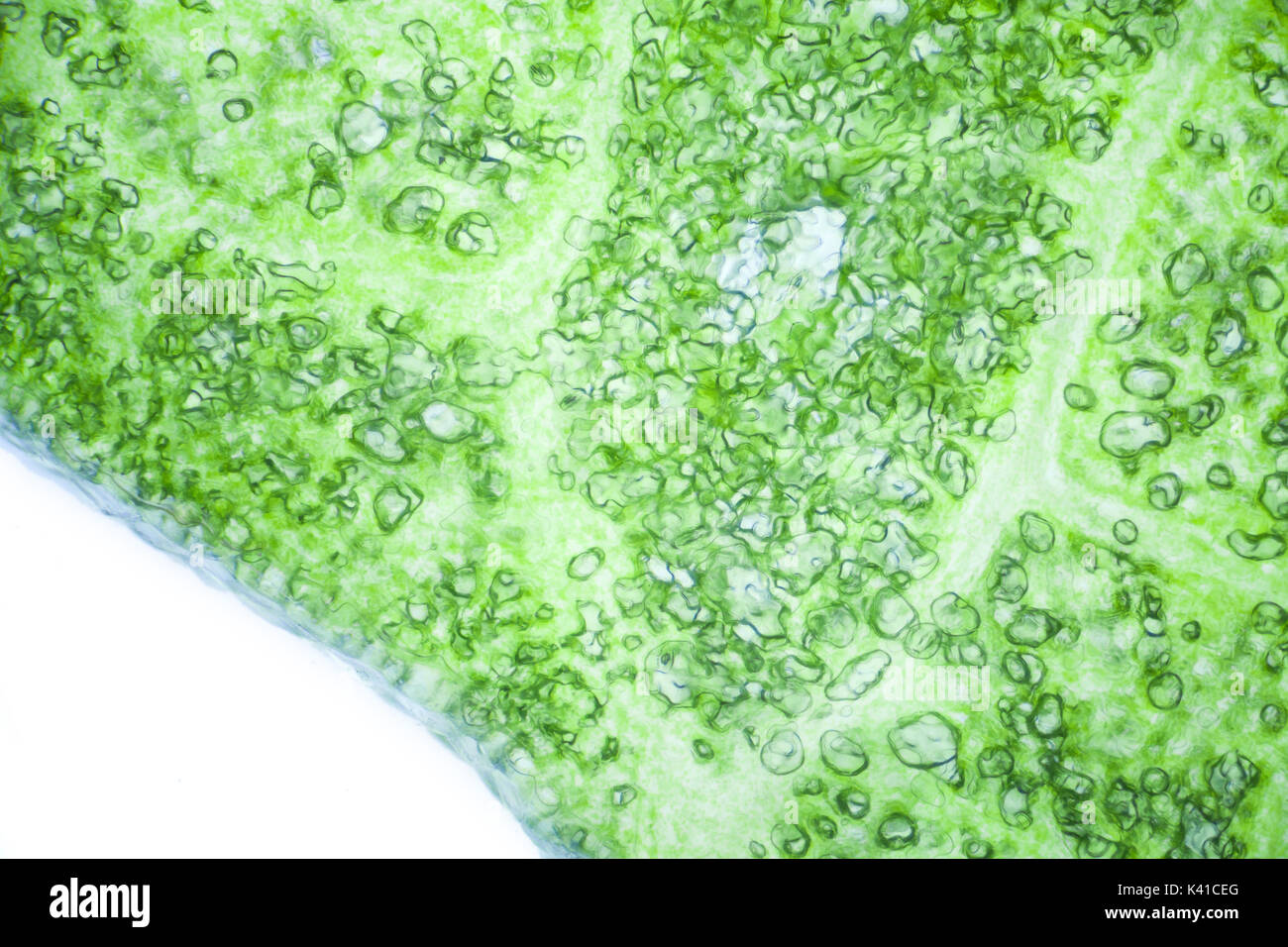 Lettuce cells under microscope, magnification x 100 Stock Photo