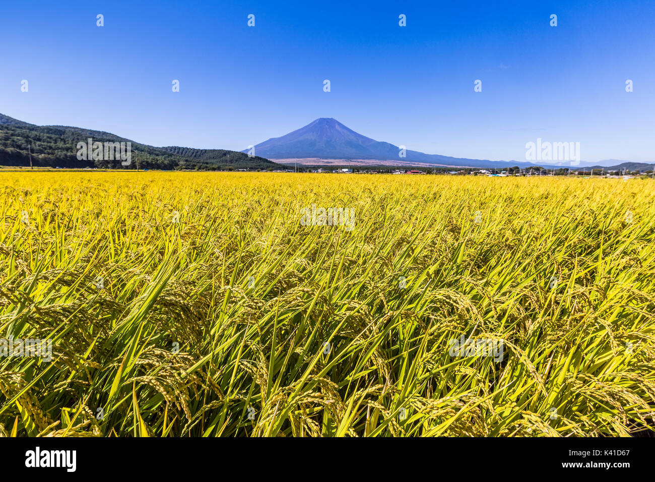 Rice Field and Mt.Fuji in Japan - Stock Image