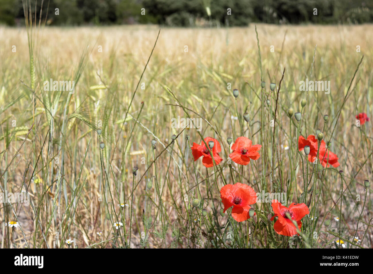A red poppy flower with a yellow and green corn field background Stock Photo