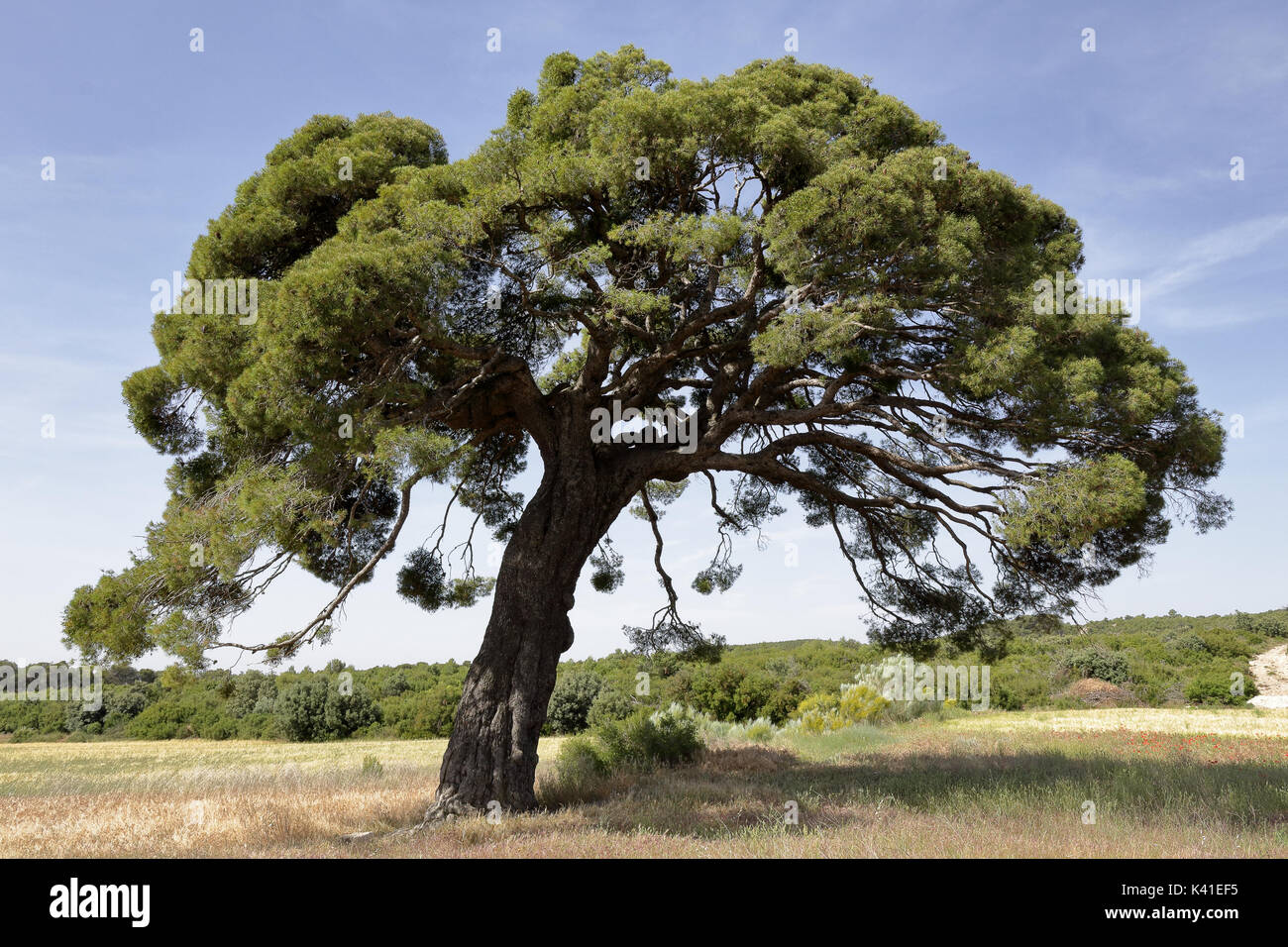 A centuries old big pine tree surrounded by yellow corn fields Stock Photo