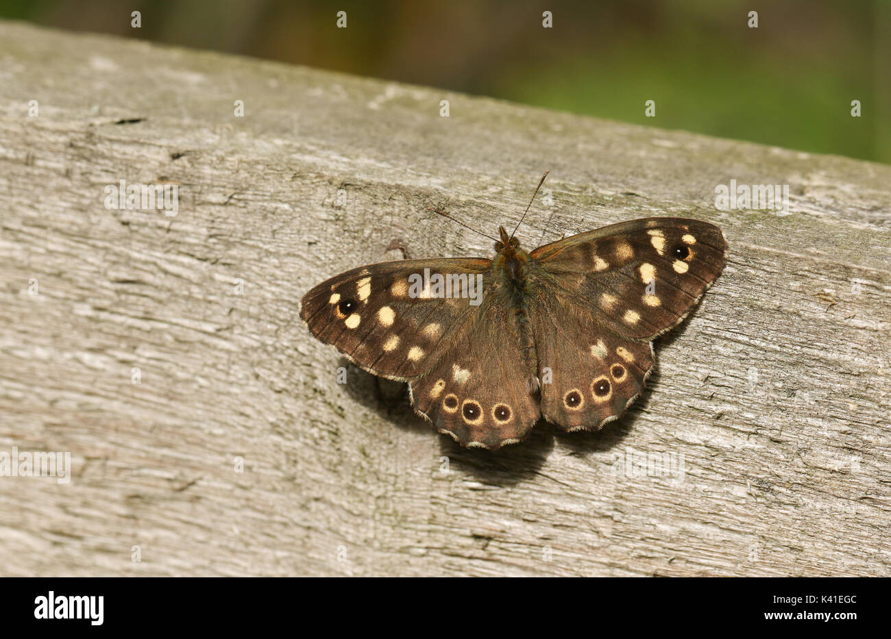 A Speckled Wood Butterfly (Pararge aegeria) perched on a fence. - Stock Image