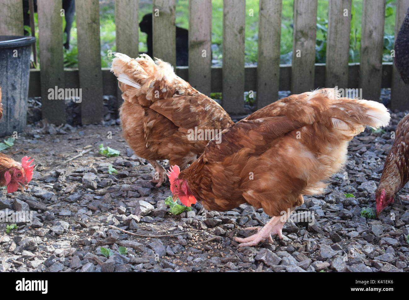 Brown hens enjoying greens - Stock Image