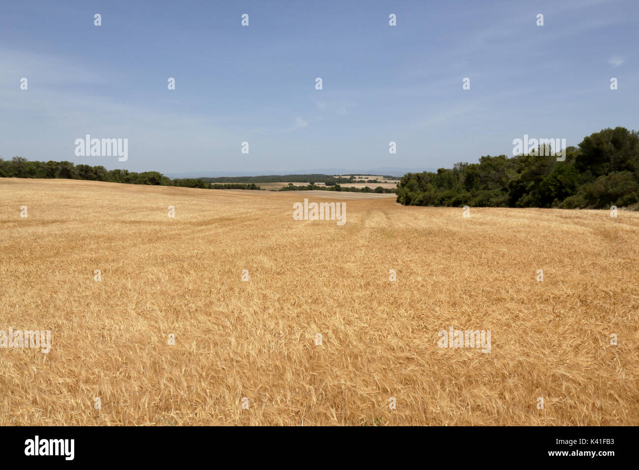 A landscape with a yellow corn field in the Spanish region of Aragon Stock Photo
