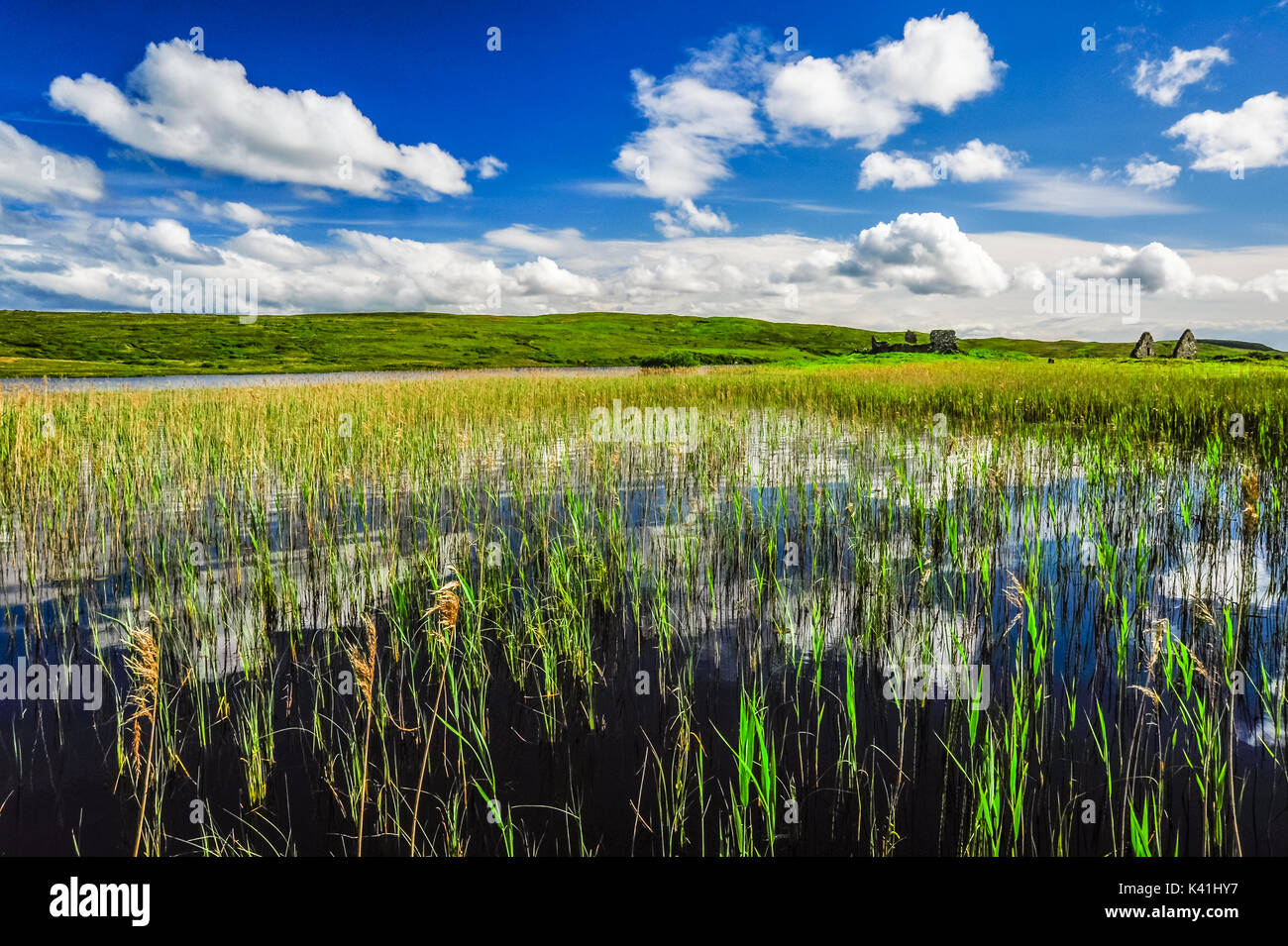 Tall grass reeds stretch skyward from the waters of Loch Finlaggan on a sunny summer's day, Islay, Scotland Stock Photo