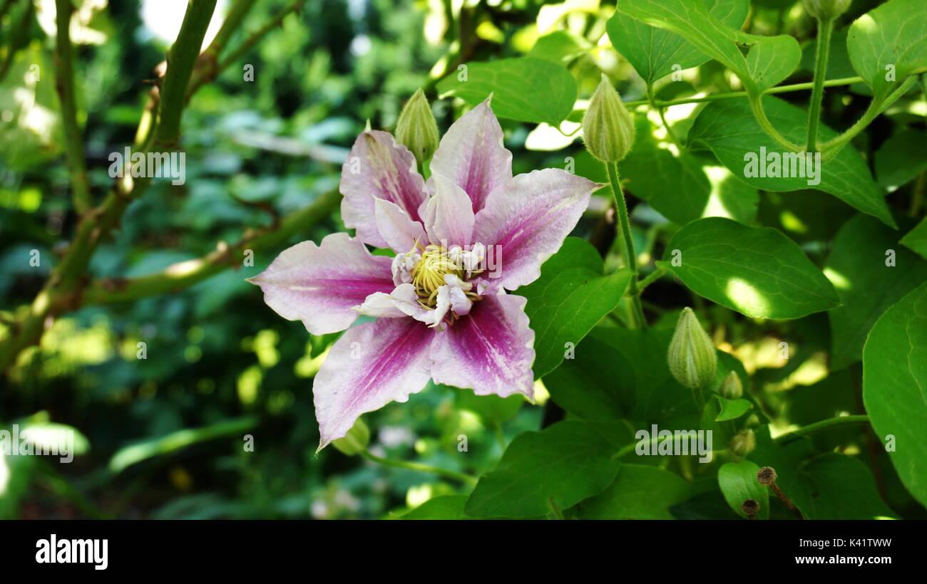 Blume Clematis Piilu Stock Photo