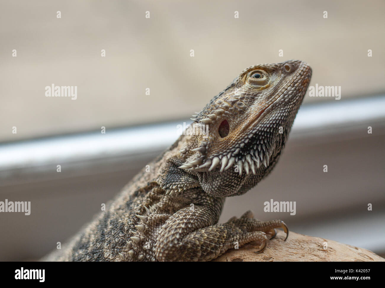Bearded Dragon - Intrigued - Stock Image