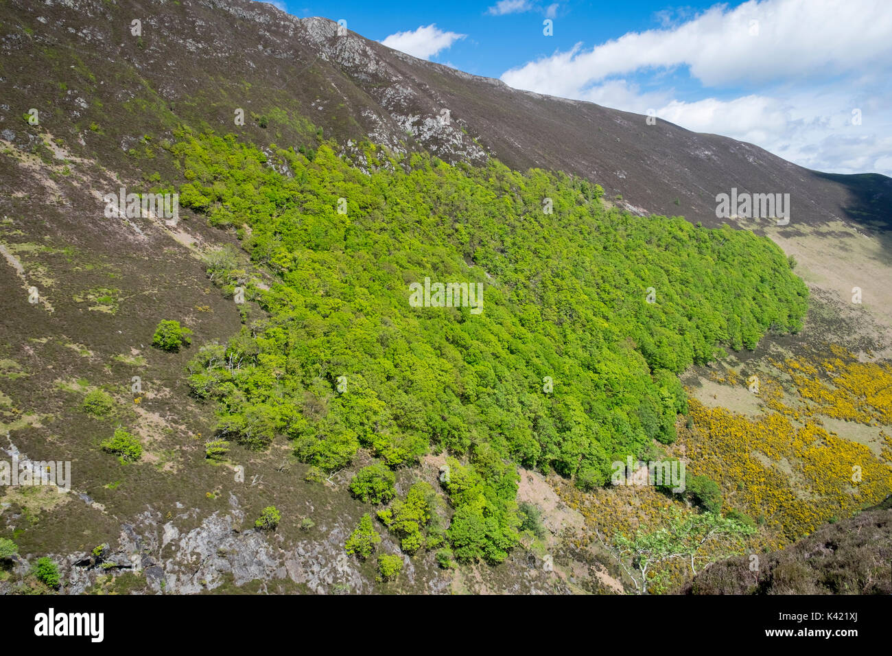 Oak woodland on steep slopes of Ard Crags in Lake District, England - Stock Image