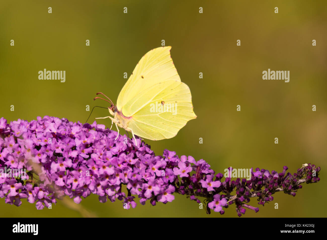 Brimstone (Gonepteryx rhamni) butterfly on Buddleia. A male butterfly in the family Papilionidae nectaring on butterfly Stock Photo