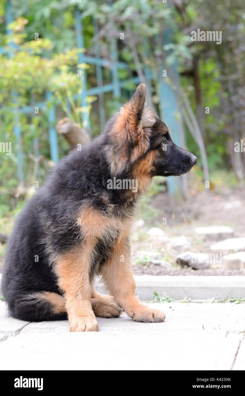 Close Up Portrait Of German Shepherd Puppy Cute Fluffy Little Pet In Stock Photo Alamy