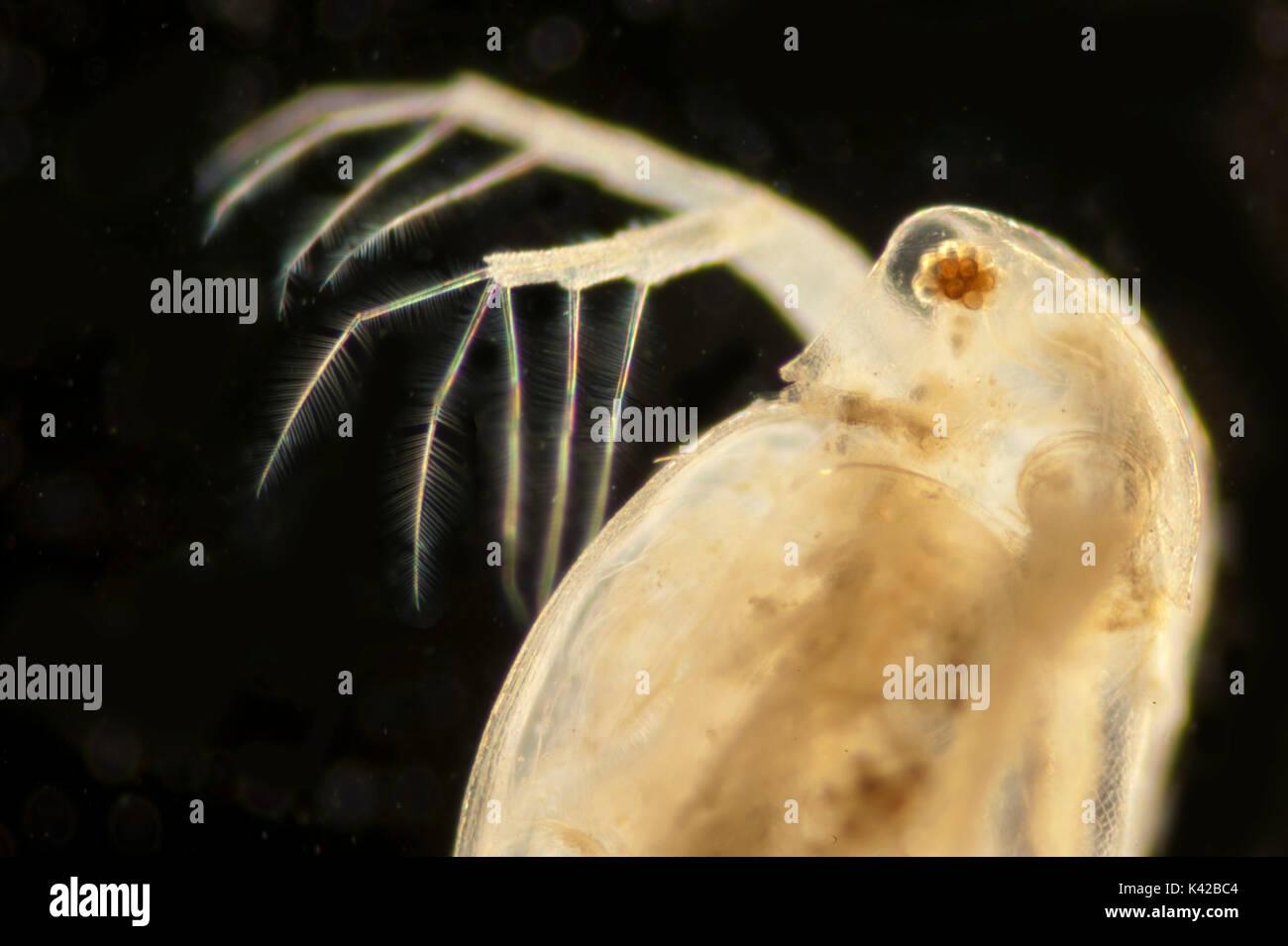 Daphnia Longispina Common Water Flea Water Fleas Cladocera Stock
