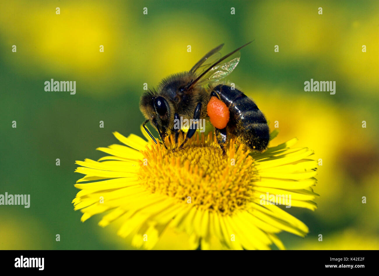 Honey Bee, Apis mellifera, worker bee with pollen sacks on legs, collecting pollen from yellow fleabane flower (pulicaria dysenterica), social, networ - Stock Image