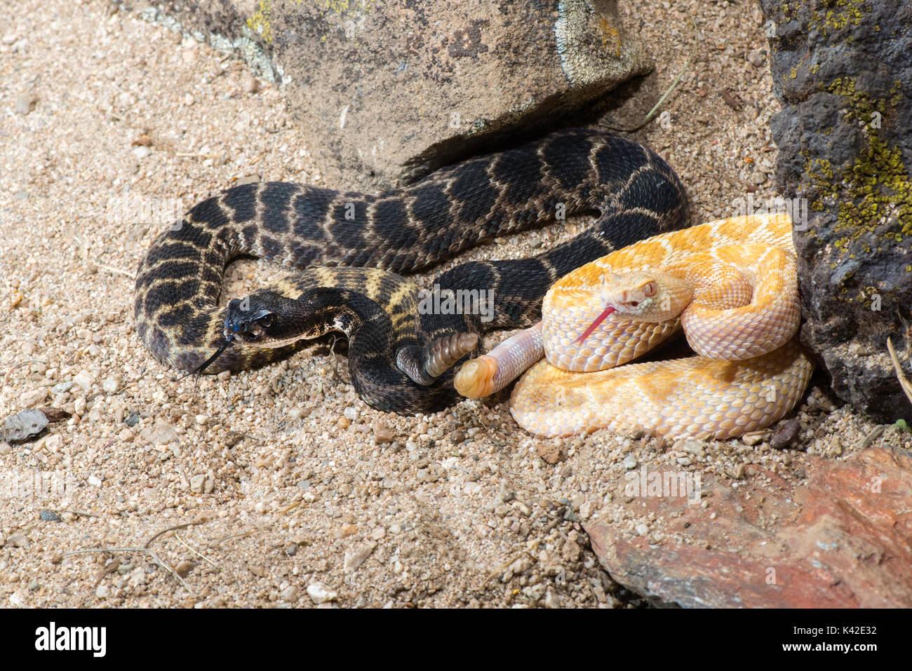 Western Diamondback Rattlesnake Crotalus atrox Tucson, Pima County, Arizona, United States 28 August 2017 Stock Photo