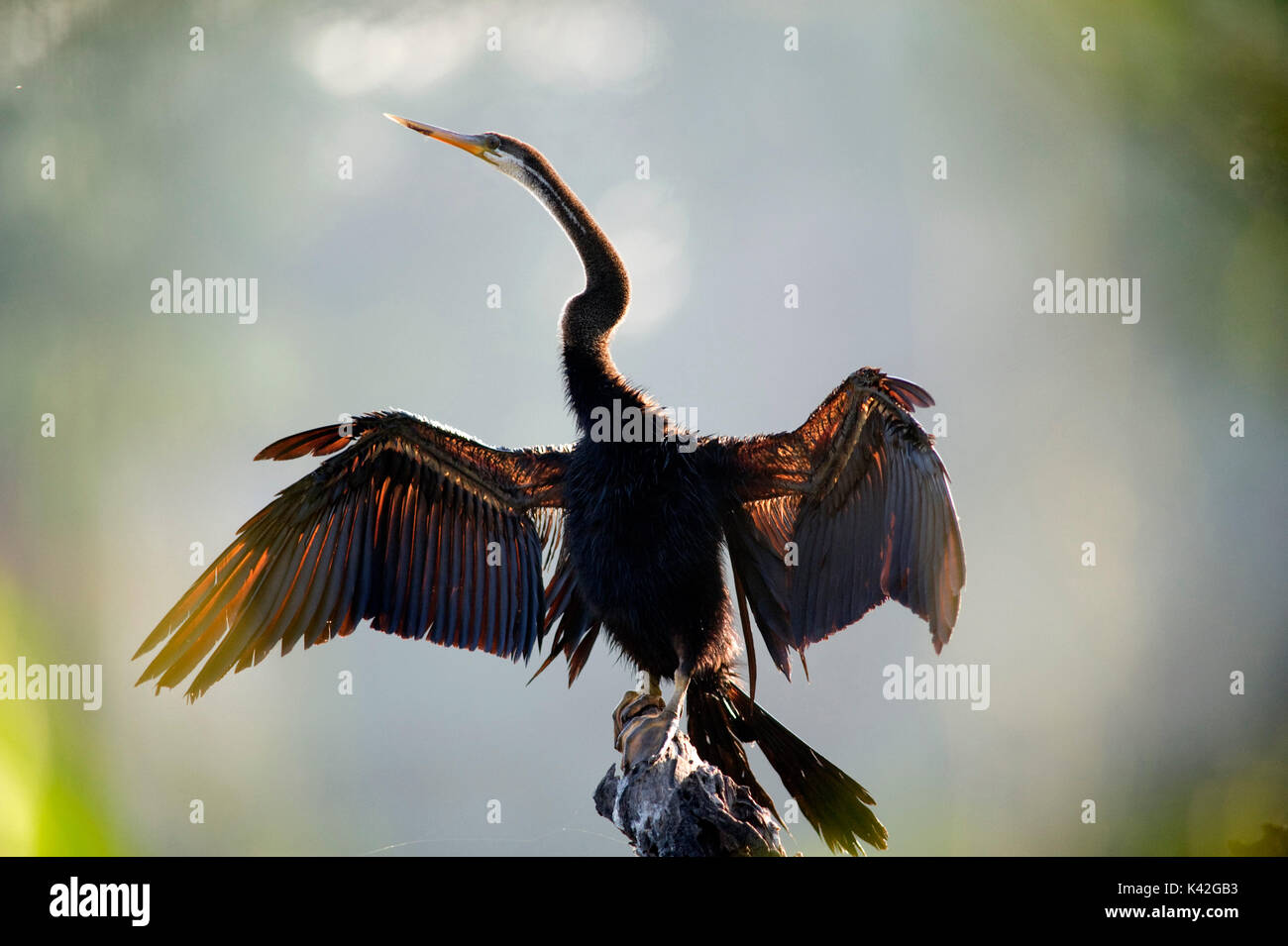 Indian or Asian Darter, Anhinga melanogaster, drying wings, Keoladeo National Park or Keoladeo Ghana National Park formerly known as the Bharatpur Bir - Stock Image