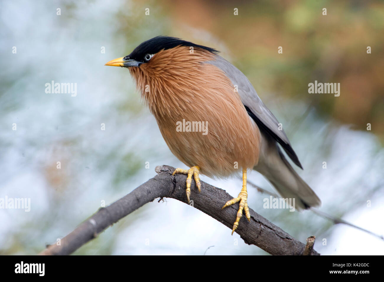 Brahminy Myna or Brahminy Starling, Sturnia pagodarum, Keoladeo Ghana National Park, Rajasthan, India, formerly known as the Bharatpur Bird Sanctuary, - Stock Image