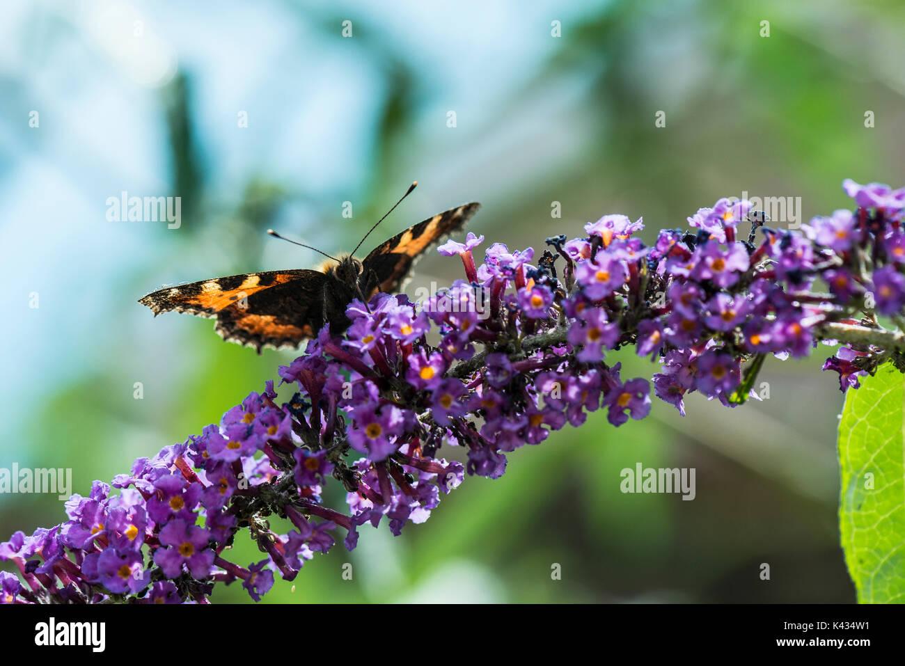 A small tortoiseshell butterfly (Aglais urticae) on a butterfly bush (buddleia) - Stock Image
