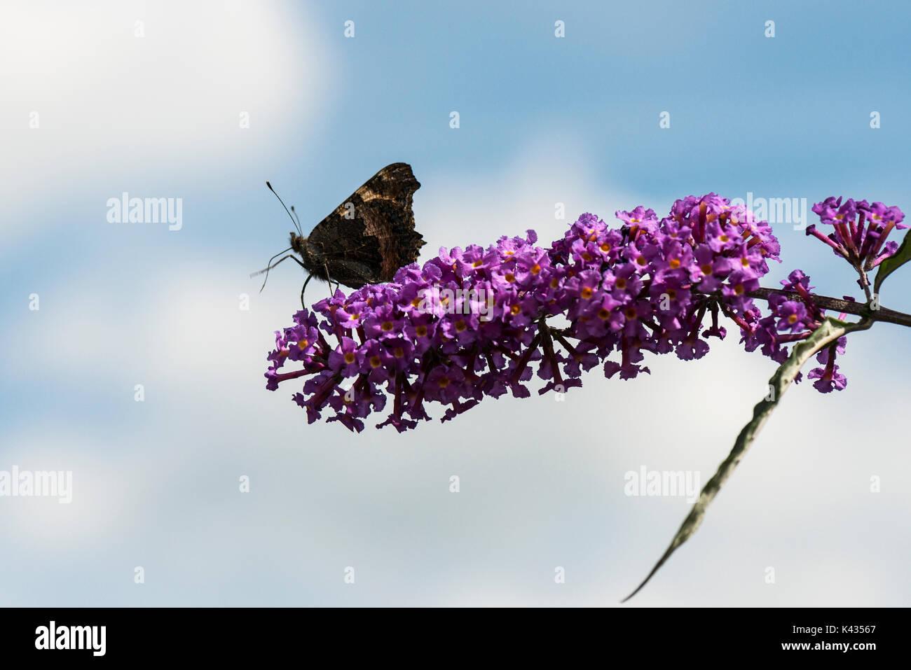 A small tortoiseshell butterfly (Aglais urticae) on a Buddleia davidii - Stock Image