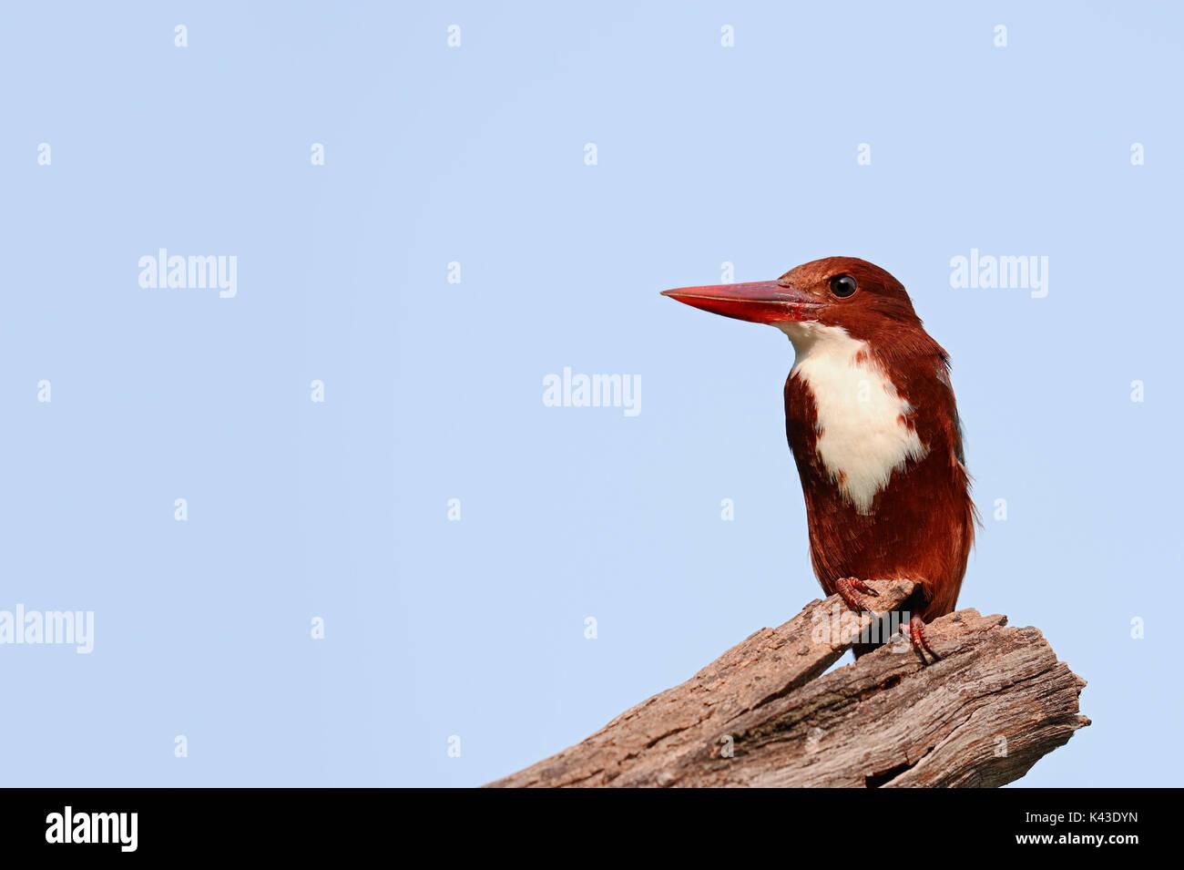 White-throated Kingfisher, Keoladeo Ghana national park, Rajasthan, India / (Halcyon smyrnensis) | Braunliest, Keoladeo Ghana Nationalpark, Rajasthan - Stock Image
