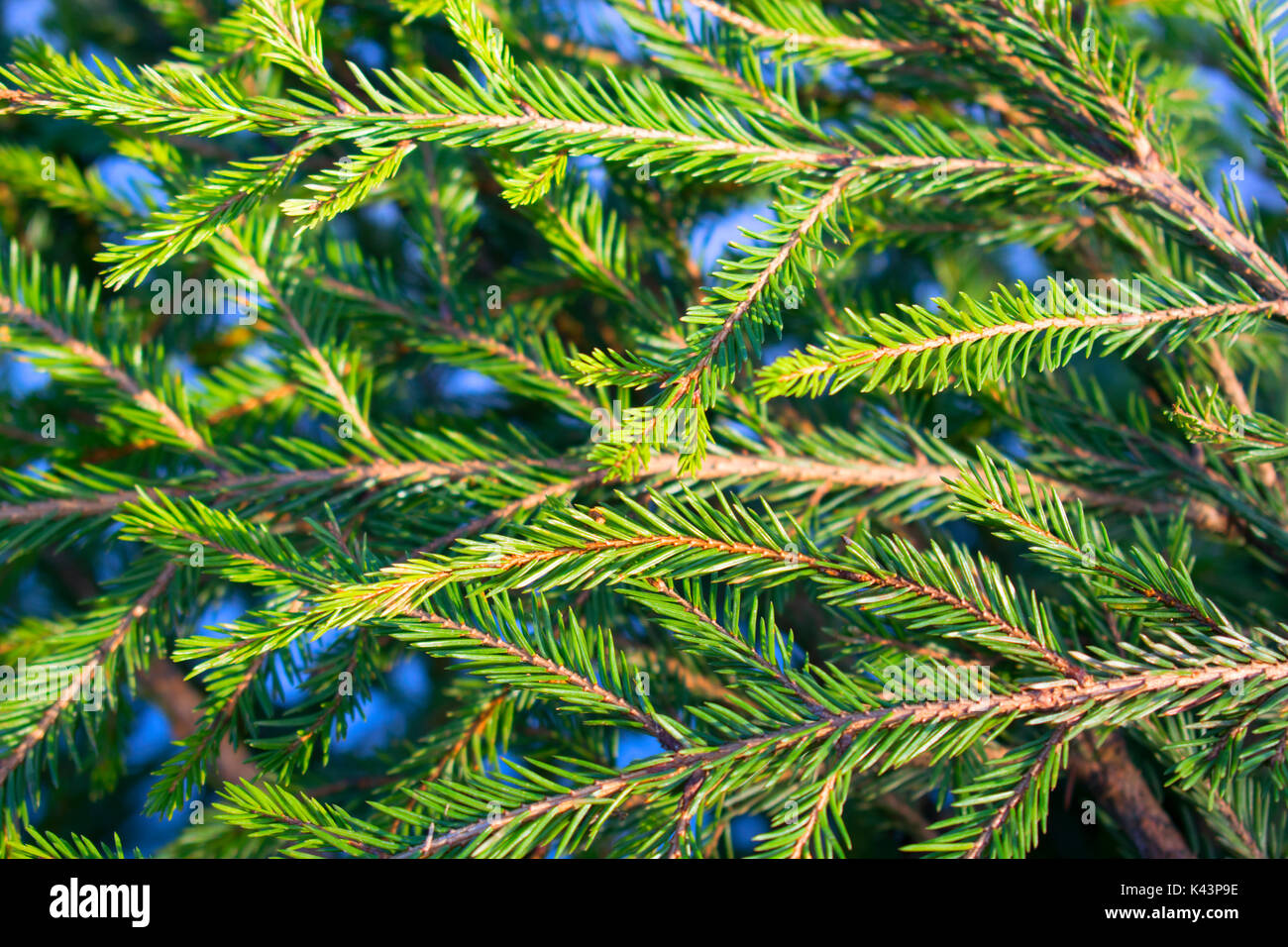 bright spruce branches horizontally - Stock Image