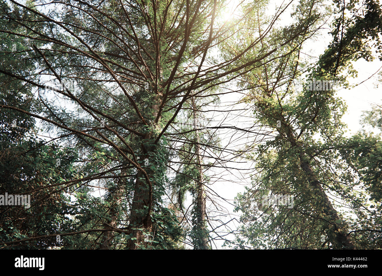 Pines in a wild forest. Horizontal photo Stock Photo