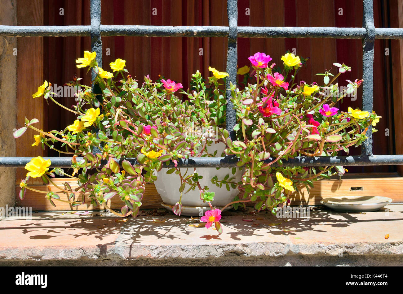 Portulaca oleracea (Popular known as Verdolaga). Beautiful and colorful plant with pink and yellow flowers, over the window sill. Rural environment. - Stock Image