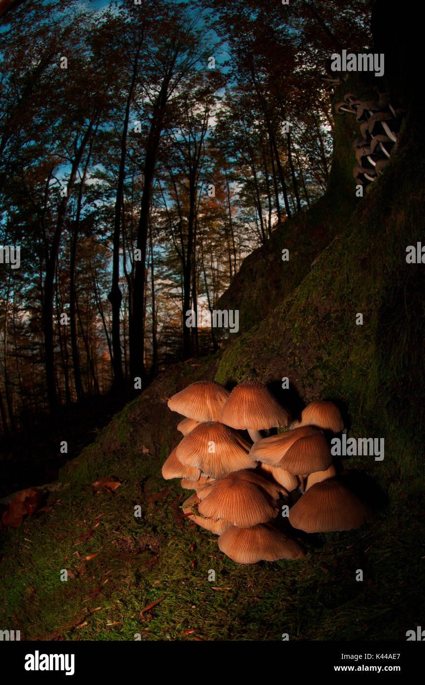 Mushroom in a woodland. Aveto valley, Genoa, Italy, Europe. Stock Photo