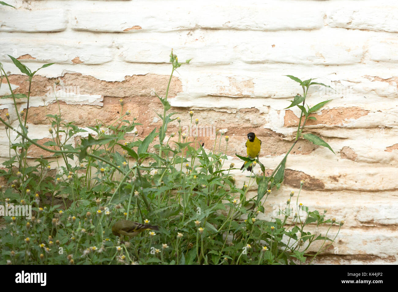 Asuncion, Paraguay. 4th Sep, 2017. A warm  day in Asuncion with temperatures high around 38°C as a pair of Hooded Siskin (Spinus magellanicus) passerine birds feed on wild flowers during the last hour of a hot windy afternoon. Female bird on the foreground and male bird with a black head is seen on the background. Credit: Andre M. Chang/ARDUOPRESS/Alamy Live News - Stock Image