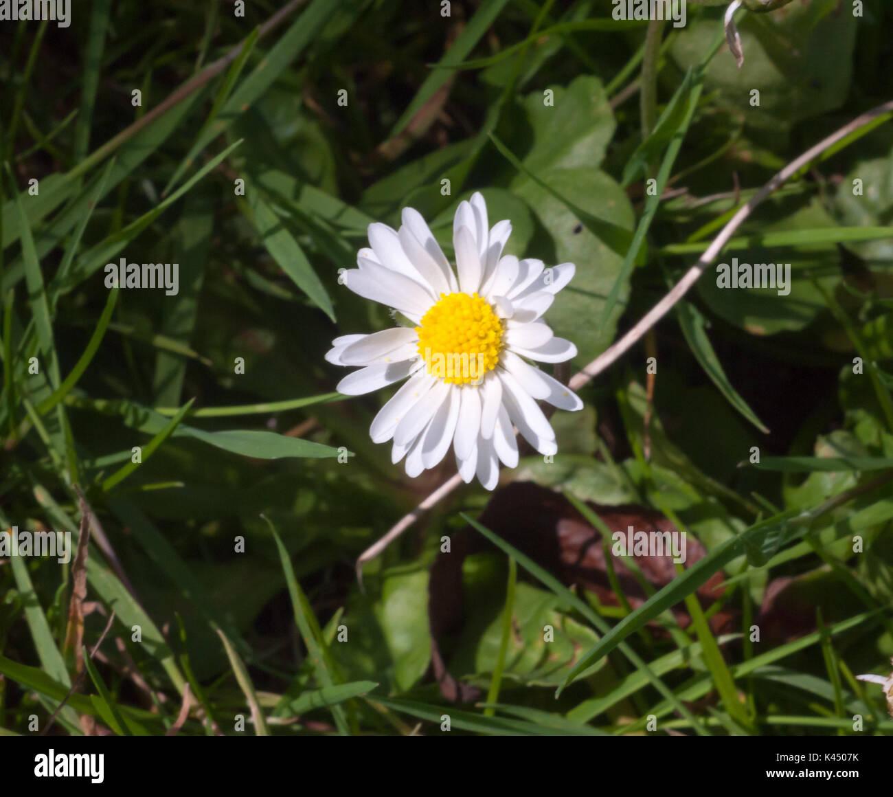 Daisy flower england stock photos daisy flower england stock small full petals single yellow and white daisy flower on floor essex england izmirmasajfo