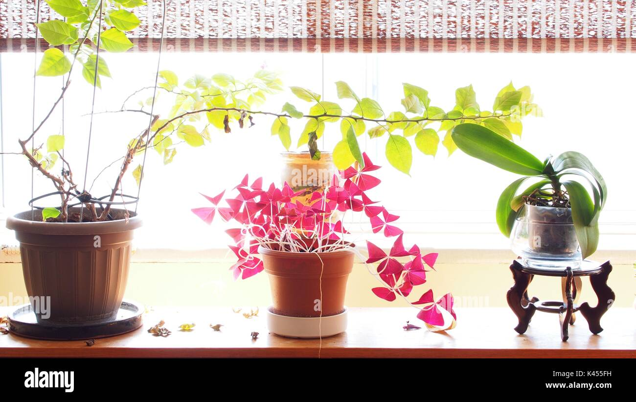 Row of three potted plants on a windowsill, lit up by white light. - Stock Image